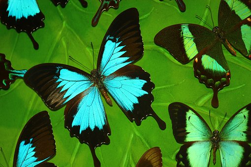 Butterfly, Tropical Butterfly, Turquoise