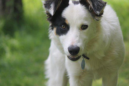 Dog, Collie, Border Collie, Sheepdog, Pet, Animal