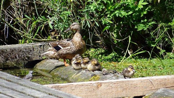 Wild Ducks, Duck Family, Chicken, Young