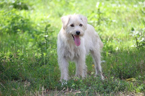 Dog, Meadow, Green, Hell, Attentive Dog, Dog Searches