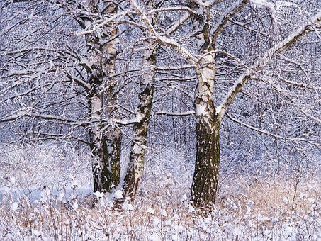 Winter, Snow, Tree, Nature, Birch, Forest, Frost