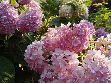 Hydrangea Flowers Jia, Flowers