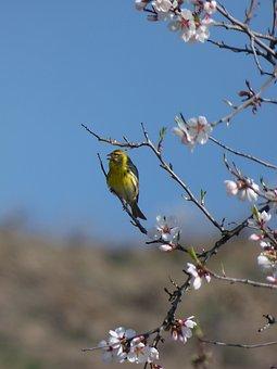 European Serin, Bird, Serinus Serinus, It Gafarró