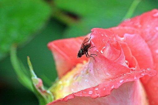 Rose, Rosebud, Mucha, Blue Bottle Fly, Macro, Garden