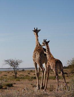 Giraffe, Wild, Safar, Namibia, Wildlife Photography
