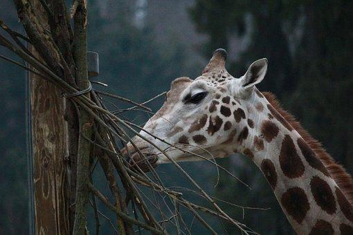 Giraffe, Zoo, Wild, Nature, Animal, Wildlife