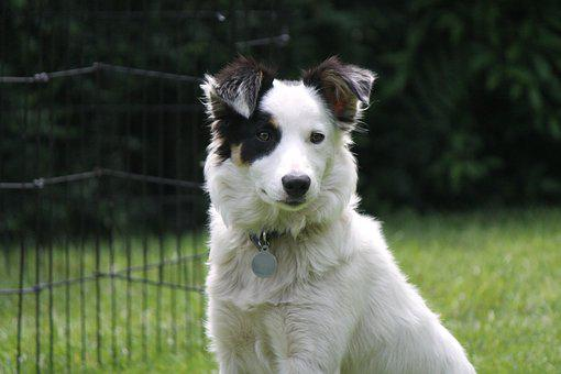 Dog, Sheepdog, Collie, Border Collie, Pet, Shepherd