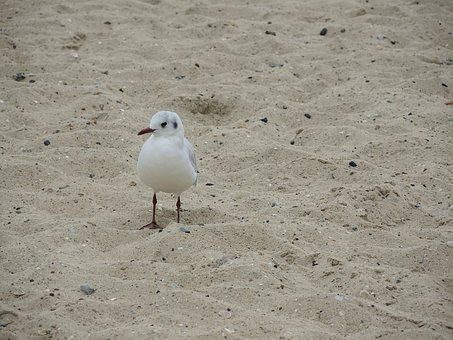 Seagull, North Sea, Beach, Sea, Water Bird, Sand Beach