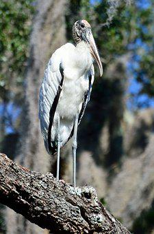 Wood Stork, Wildlife, Bird, Stork, Nature, White