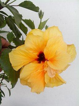Yellow Hibiscus, Yellow Flower, Chinese Rose
