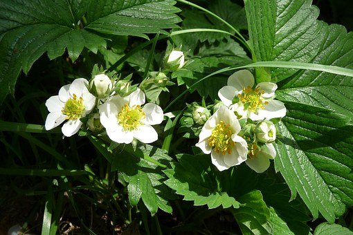 Strawberry Flowers, Strawberry, Blossom, Bloom, Close