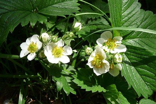 Strawberry Flowers, Strawberry, Blossom, Bloom, Close