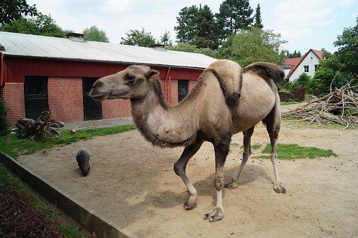Camel, Zoo, Braunschweig, Nature, Mammal