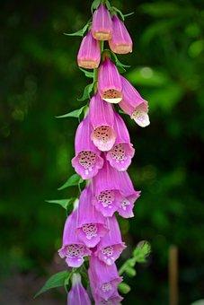 Thimble, Digitalis Purpurea, Toxic, Flower, Blossom