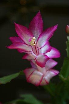 Christmas Cactus, Fuscia, Flower, Houseplant, Floral