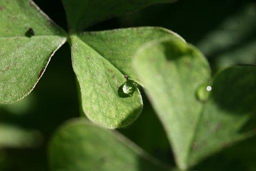 Four Leaf Clover, Clover, Leaf, Green