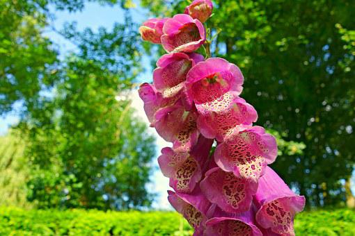 Foxglove, Flower, Purpurea, Digitalis Purpurea, Petal