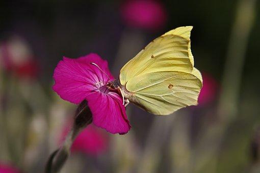 Gonepteryx Rhamni, Butterfly, Nectar, Pink, Blossom