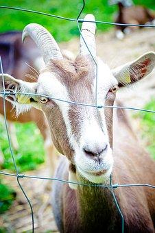 Domestic Goat, Horns, Thuringian Forest Goat, Goat