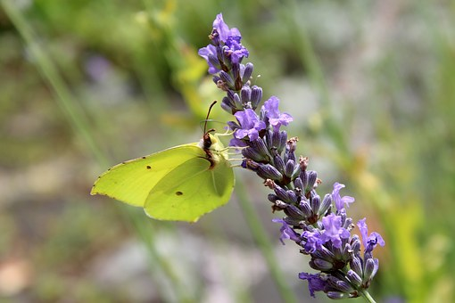 Gonepteryx Rhamni, Lavender, Butterfly