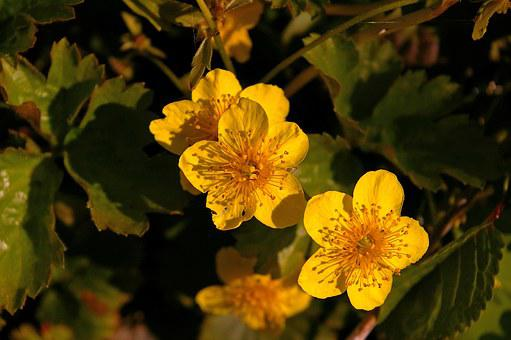 Gold Strawberry, Spring, Plant, Nature, Flowers, Garden