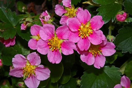 Ground Cover, Ornamental Strawberry, Strawberry