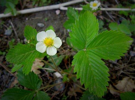 Flower, Strawberry, Strawberry Flower, Plant, White