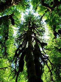 Tree, Canopy, Rain Forest, Forest, Moss, Woods