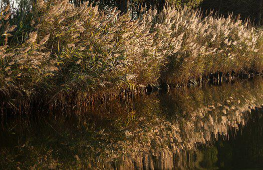 Reeds, Marsh, Water Plants, Reflections, Water Courses