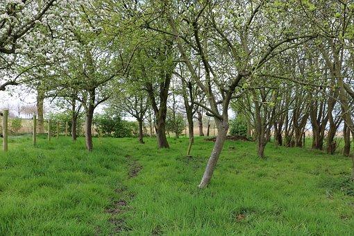 Orchard, Apple Tree, Pear Tree, Trees