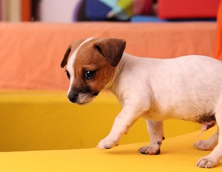 Dog, Puppy, Jack Russell, Baby, Cute, Playful, Dreamy