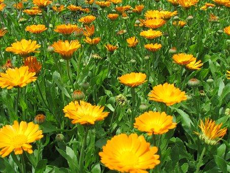 Field, Flowery, Yellow
