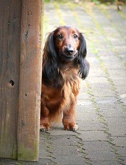 Dog, Dachshund, Pet, Brown, Goal, Watch, Curious