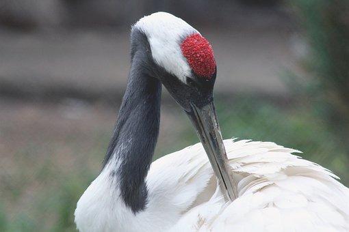Gray Crane, Grus Grus, Crane, Bird, Beak, Animal