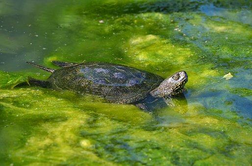 Marsh Turtle, European, Water Creature, Turtle