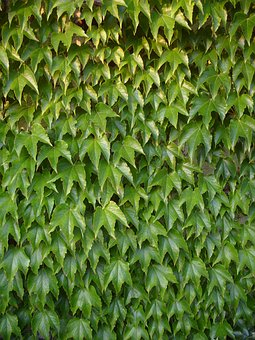 Vines, Leafs, Wall, Wine, Plant, Nature, Green, Leaves