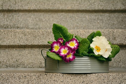 Primroses, Spring Flowers, Decoration, Primrose