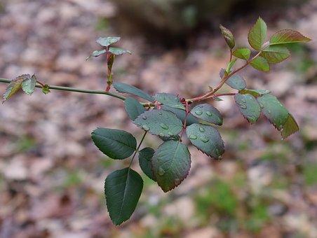 New Rose Leaves, Rain, Raindrops, Rose, Leaves, Foliage