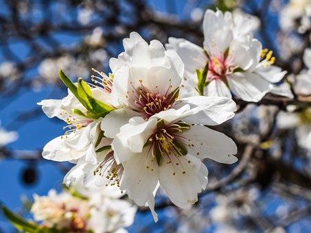 Almond Tree, Flowers, Petal, Stamens, Almond, Nature