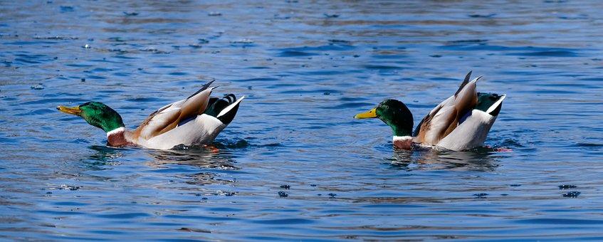 Animals, Ducks, Water Bird, Drake, Tracking, Area