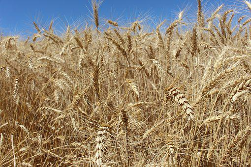 Wheat, Field, Summer, Agriculture, Nature, Farm, Crop