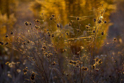 Indian Summer, Spider Web, Autumn, Plant, Inflorescence