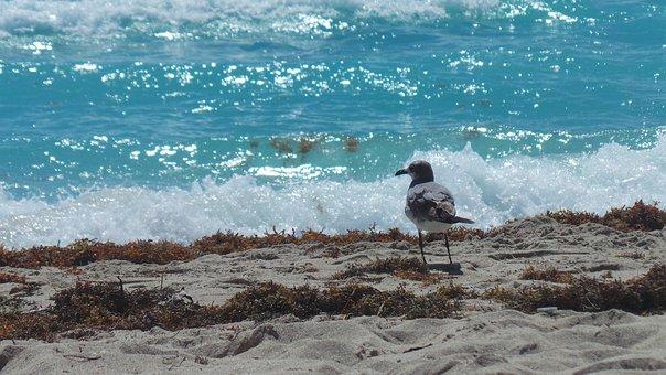 Seagull, Sea, Ave, Bird, Fly, Blue Sea, Beach
