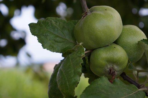 Apple, Nature, Apple Tree, Fruit, Autumn, Harvest