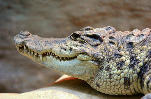 Crocodile, Head, Alligator, Mouth, Animal, Reptile