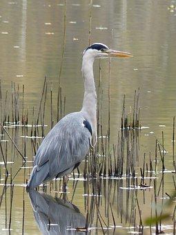 Heron, Nature, Mare, Watcher, Fall, Bird, Grey