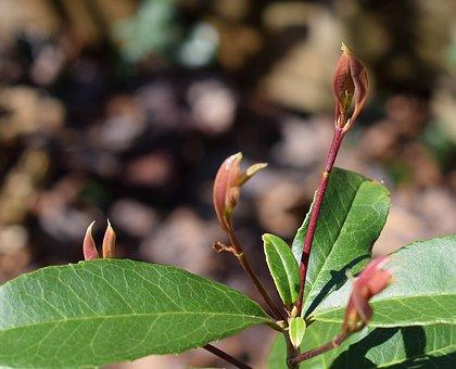 New Sweet Olive Leaves, Sweet Olive, Leaves, Foliage