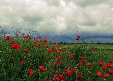 Nature, Flowers, Poppy Before The Rain