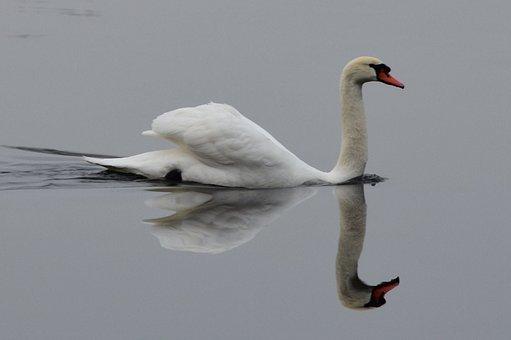 Swan, Water, Bird, Swans, Be, White Swan, Mirroring