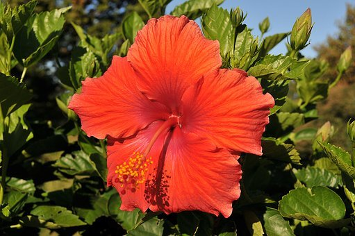 Flower, Hibiscus, Tropical, Floral, Nature, Plant